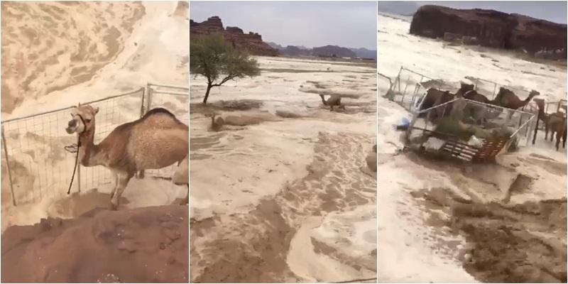 น้ำท่วมไหลเชี่ยวในทะเลทรายซาอุฯ ฝูงอูฐหนีตาย